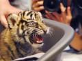 В Москве на пустыре нашли ящик с живым тигром
