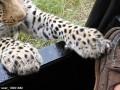 Появилось видео, как леопард играет с ногой туриста