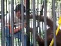 Орангутан украл у туриста футболку и надел ее (ВИДЕО)