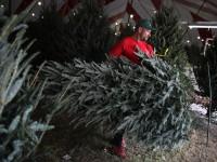 Сколько новогодних елок купили украинцы к празднику: Статистика