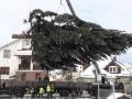 Главную елку Львову подарила жительница пригорода