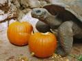 Животные недели: черепаха с тыквами и зевающий лев (ФОТО)