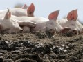 Россиянам могут запретить выращивать свиней