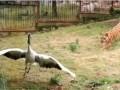 Храбрый журавль отбился от двух тигров в зоопарке