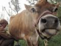 В Крыму корова помогла обнаружить боеприпасы времен Второй мировой