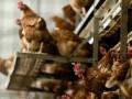 Птичий грипп из Европы пришел в Украину - Госпродпотребслужба