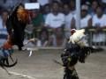 Боевой петух убил полицейского на Филиппинах