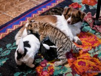 Собачка выкармливает тигренка в питомнике под Запорожьем