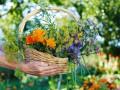 Кропива и чай: Как стать миллионером в Украине, собирая лекарственные травы