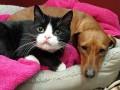 Верный друг. Такса ухаживает за парализованной кошкой