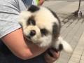 В РФ панда-модель для фото оказалась перекрашенным щенком