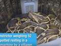 В Китае женщина нашла 52-килограммового удава в своей стиральной машине