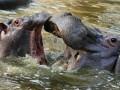 В Замбии убьют две тысячи бегемотов - СМИ