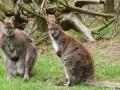 Жители Австралии массово жалуются на наглых кенгуру