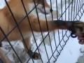 Лисица в Челябинском зоопарке научилась крутить спиннер