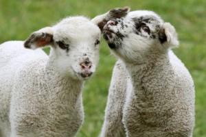 Животные недели: общение барашков и куриные разборки