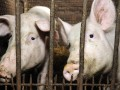 В Украине растут закупочные цены на свинину: график