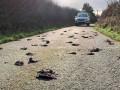 Сотни мертвых птиц засыпали дорогу в Уэльсе
