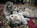В Крыму родились серые львята (ФОТО)
