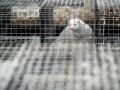 Дания постарается спасти норок-переносчиков коронавируса