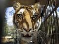 В США в уборной цирка женщина столкнулась с тигром