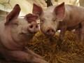 Огромная свинья спровоцировала 10-километровую пробку на скоростной трассе в Японии
