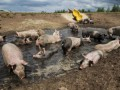 В Нидерландах фермер обустроил для своих свиней