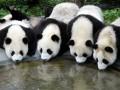 В Китае будут выпускать самый дорогой чай из фекалий панды
