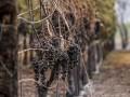 В Калифорнии пожар уничтожает элитные виноградники