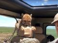 Появилось видео, как гепард запрыгнул в авто с туристами