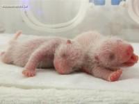 В Китае родились трое детенышей панды