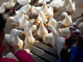 В Украину запрещен ввоз мяса птицы из трех стран Евросоюза