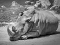 На планете умер последний самец северного белого носорога