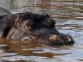 Единственный в Таджикистане бегемот умер от сердечного приступа