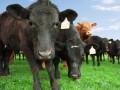 Саудовская Аравия сняла запрет на импорт рогатого скота из Украины
