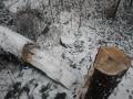 Во Львове в Парке культуры ночью спилили 12-метровый кипарис