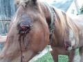 На Закарпатье пьяница покалечил коня, таская его по асфальту за авто