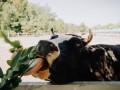 В Швейцарии фермеры хотят уменьшить размеры своих коров