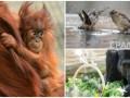 Животные недели: малыш орангутан, ванна для воробьев и горилла-именинница