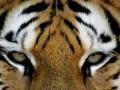 Во время циркового представления в Мексике тигр растерзал дрессировщика