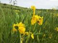 В Винницкой области расцвела долина желтых ирисов