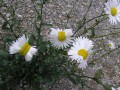 Ромашки-мутанты: в Сети появились фото мутировавших около Фукусимы-1 цветов