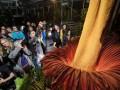 В Швейцарии расцвел самый большой и вонючий цветок в мире Аморфофаллус титанический