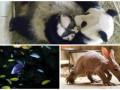 Животные недели: школа для рыбок, африканский трубкозуб и семья панд