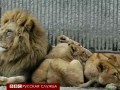 После жирафа в зоопарке Копенгагена убили львов
