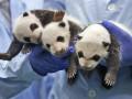 Фото животных недели: детеныши панды, жирафа и бегемота