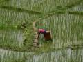 В Украине может подорожать рис: Аграрии рассказали почему