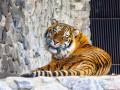 Малыш в шоке: у тигра, к которому прыгнул мужчина, стресс