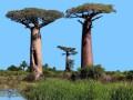 В Африке загадочно массово гибнут тысячелетние баобабы