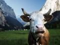 Швейцарцы попробуют спасти рога коров на референдуме